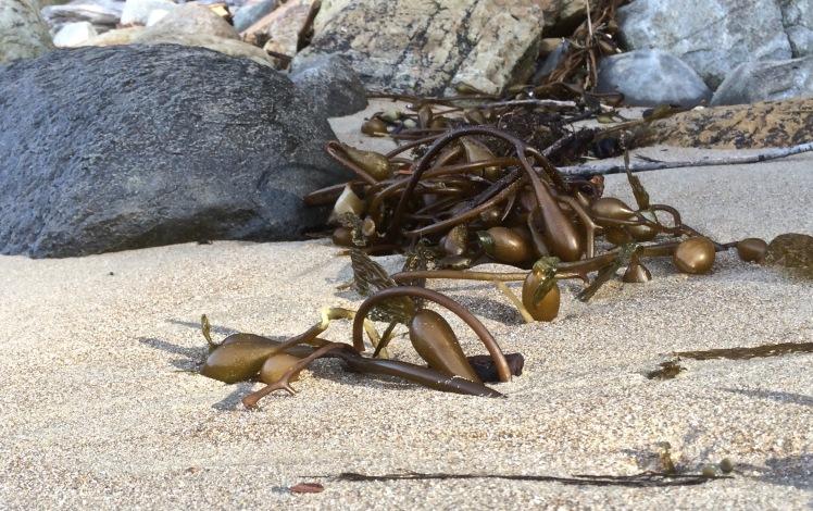 Kelp and rocks