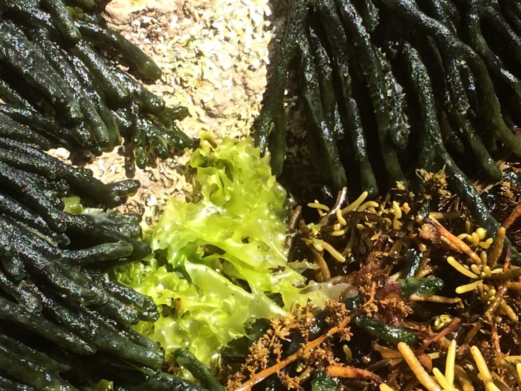Seaweeds at Tinderbox