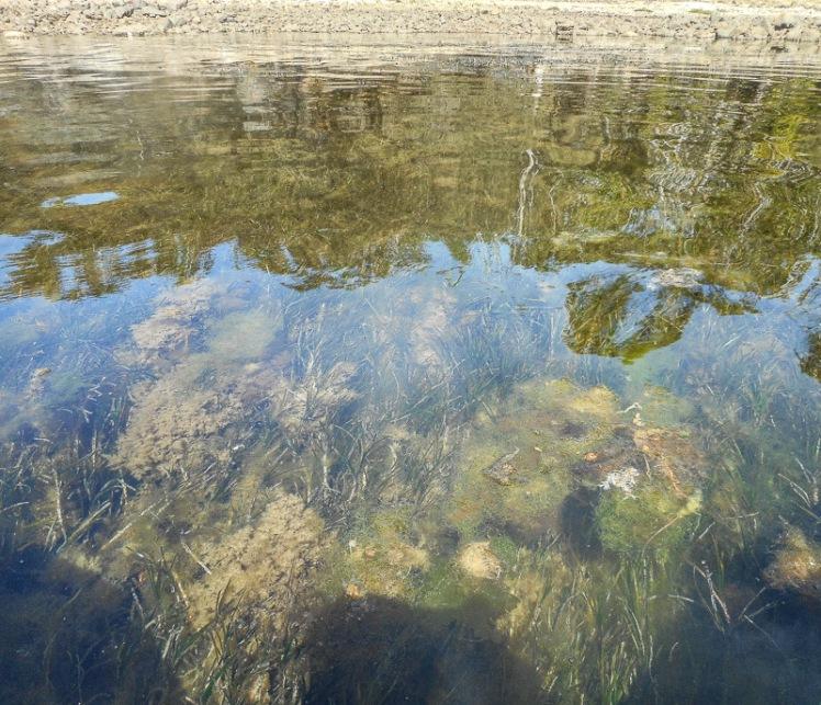 Mickeys Bay seaweed 1.jpg