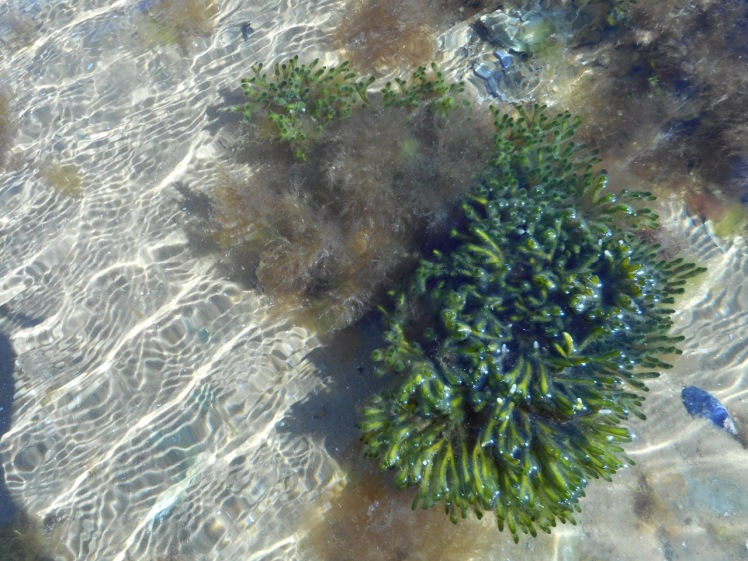 Two seaweeds from Mickey's Bay.jpg